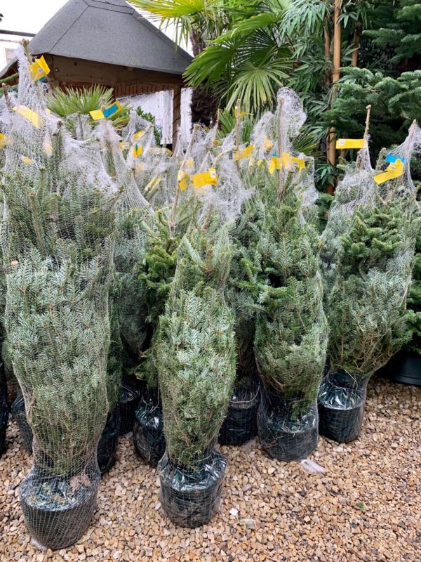 Abies fraseri (Fraser Fir) Container Grown Christmas Tree 2