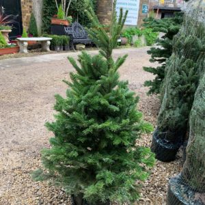 Abies fraseri (Fraser Fir) Container Grown Christmas Tree