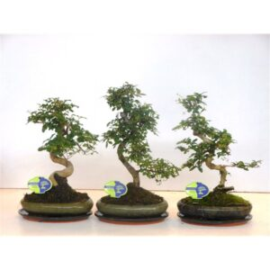 Bonsai mixed shape