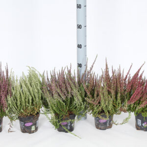 CALLUNA MIXED GARDEN GIRLS