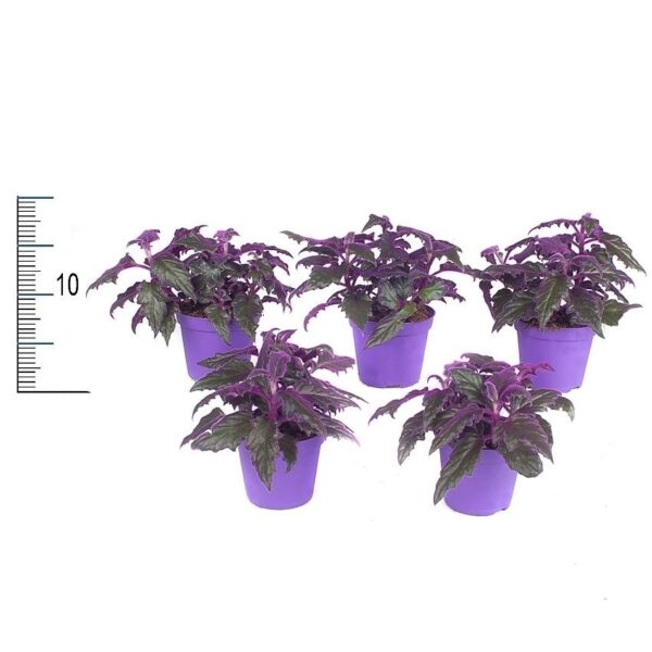 Gynura aurantiaca mini (Purple Passion)