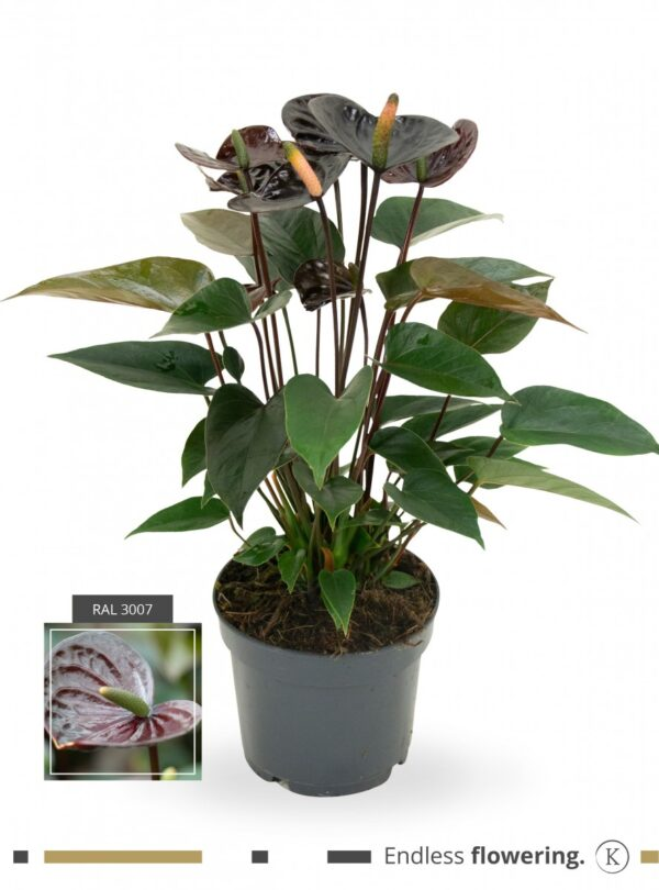 Anthurium 'Karma Black'