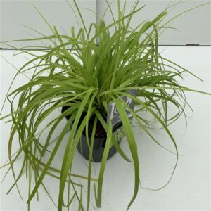 Carex oshimensis 'Everillo'