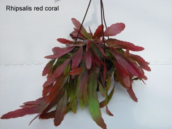 Rhipsalis 'Red Coral'