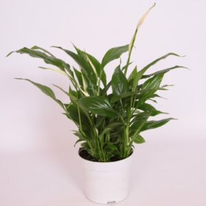 Spathiphyllum Bellini (Peace lily)