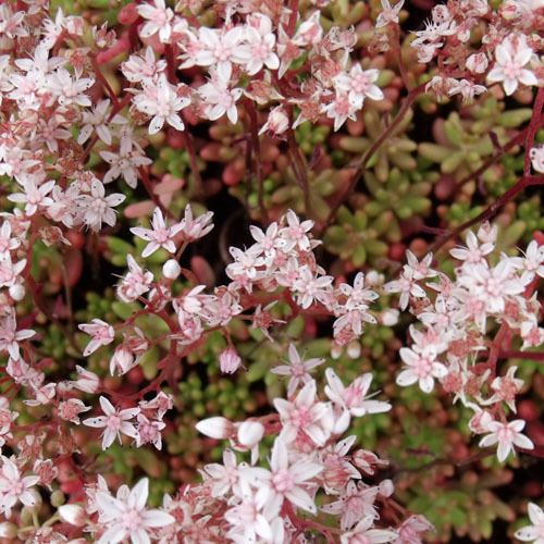Sedum album 'Coral Carpet' 2