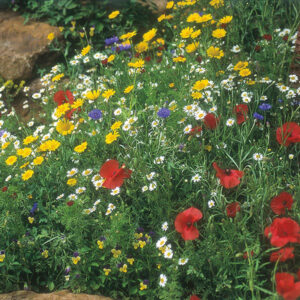 Wildflower Cornfield Mixture